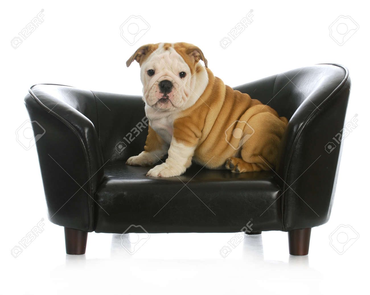 puppy on a dog bed - english bulldog puppy sitting on a dog couch - 11 weeks old Stock Photo - 11589101