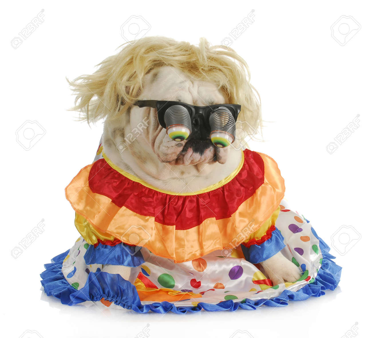 silly dog - english bulldog wearing silly glasses and clown costume Stock Photo - 11843540  sc 1 st  123RF.com & Silly Dog - English Bulldog Wearing Silly Glasses And Clown Costume ...