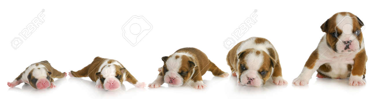 Puppy Growth English Bulldog Puppy At One Day One Week Two