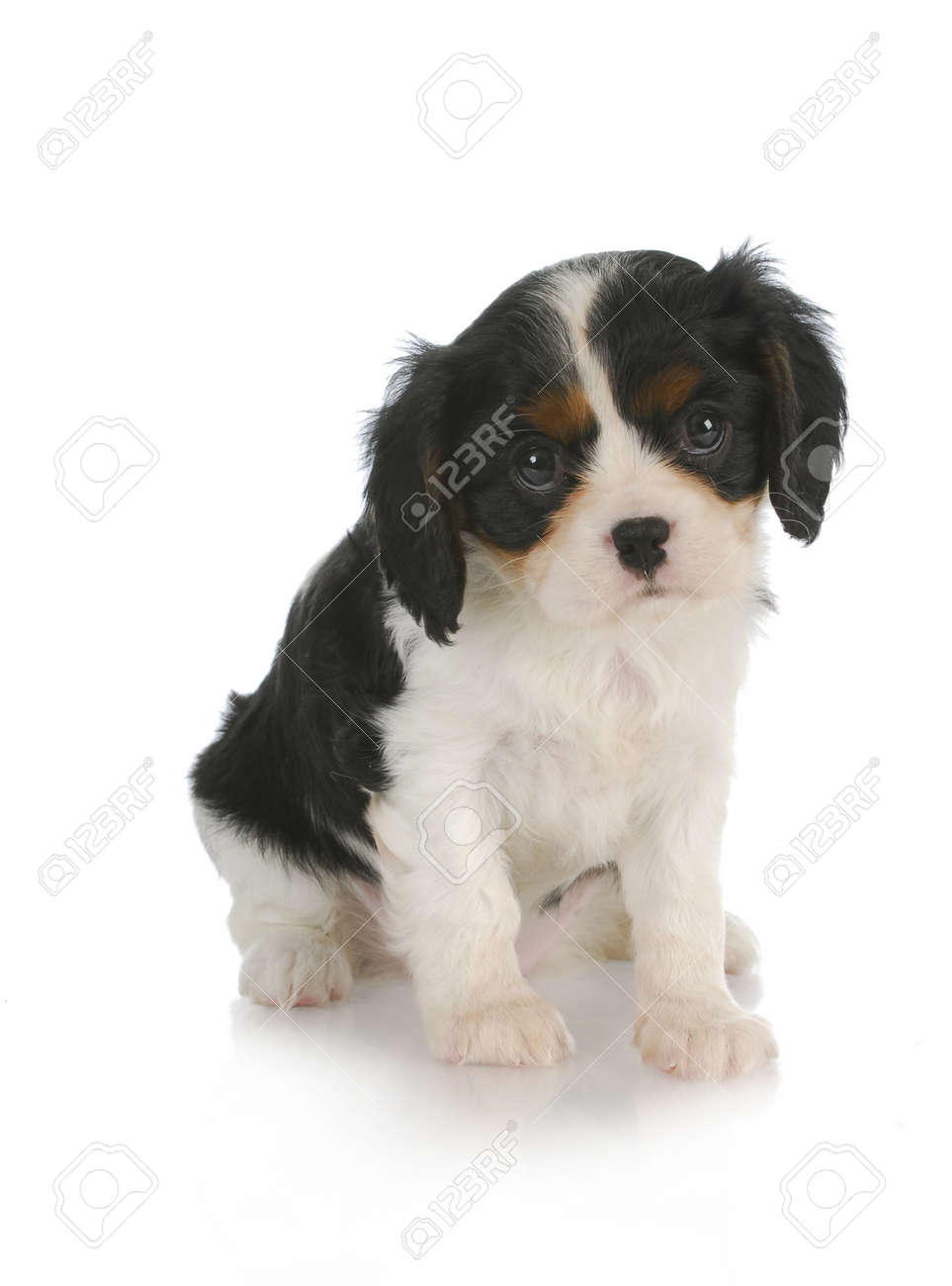 Cute Puppy Cavalier King Charles Spaniel Puppy 7 Weeks Old Stock Photo Picture And Royalty Free Image Image 12911294