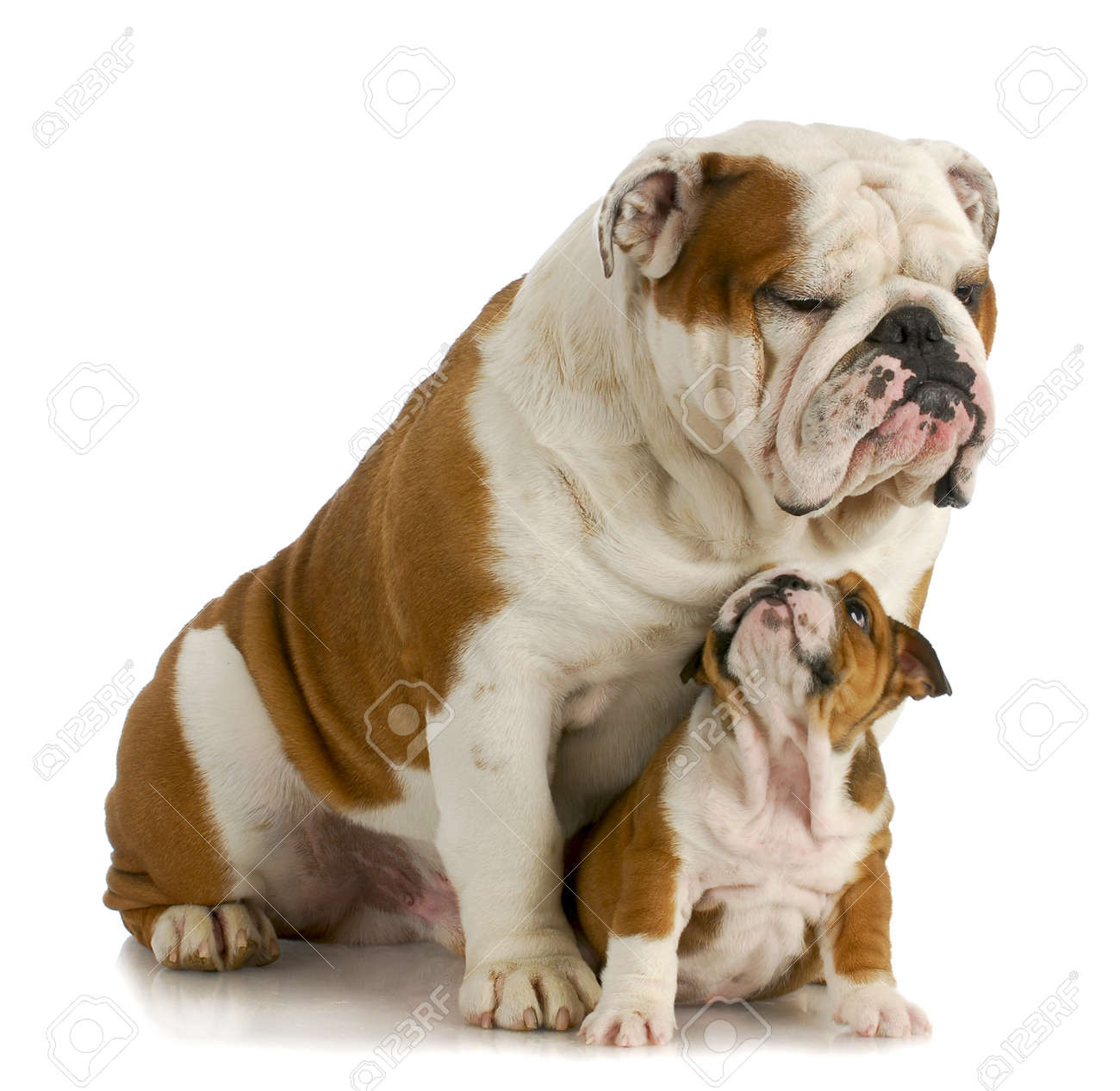 big and small dog - english bulldog father sitting with 8 week