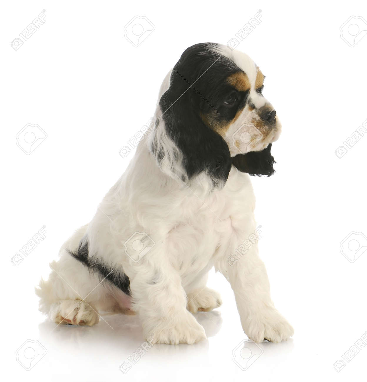 Cute Puppy Tri Color American Cocker Spaniel Puppy Sitting Stock Photo Picture And Royalty Free Image Image 12911289
