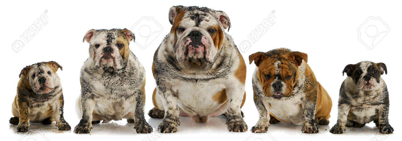 Dirty Dogs Five Muddy English Bulldogs Stock Photo Picture And