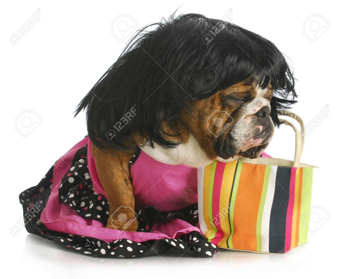 female dog - english bulldog wearing wig and dress sitting beside purse Stock Photo - 13291094