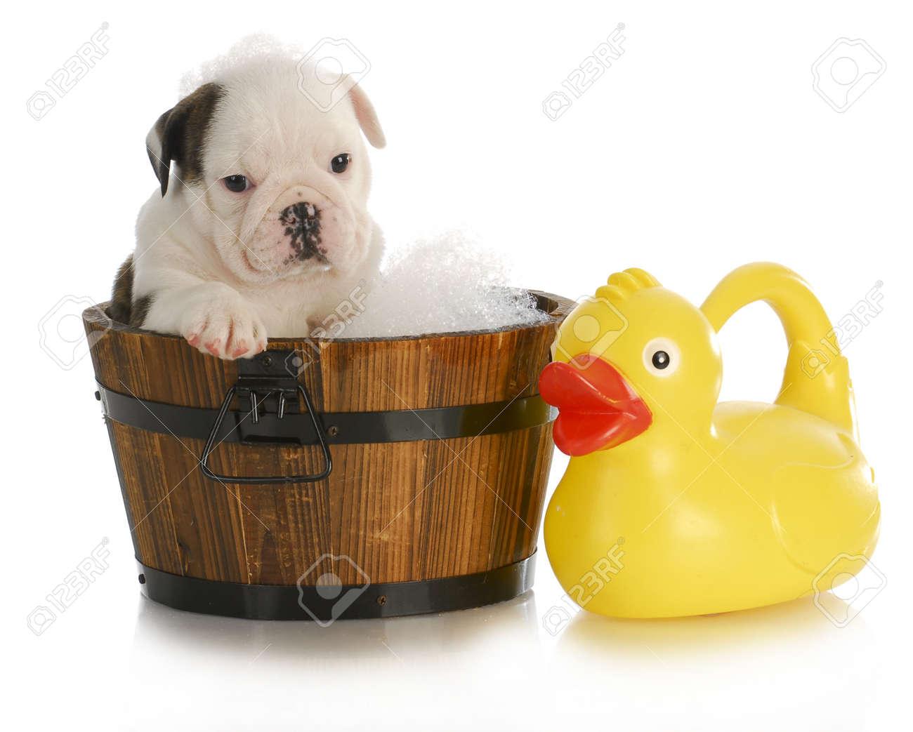 Dog Bath - English Bulldog Puppy Sitting In Tub With Soap Suds ...
