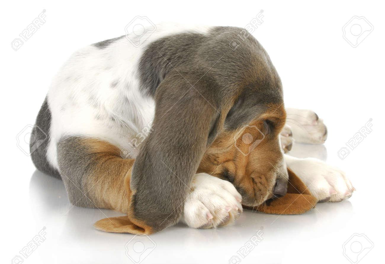 sleepy dog - basset hound curled up with cute sleeping expression Stock Photo - 14036900