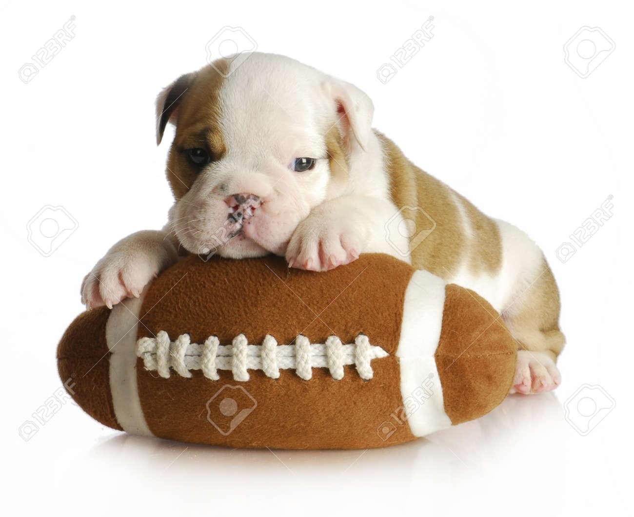 cute puppy with stuffed football  english bulldog  weeks old  - cute puppy with stuffed football  english bulldog  weeks old stock photo