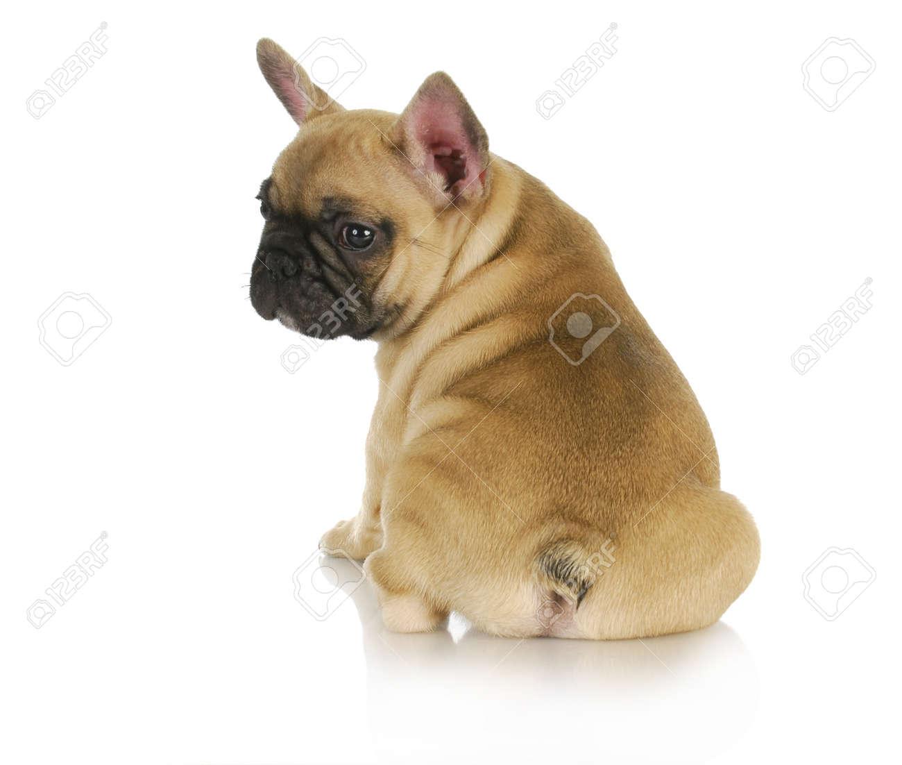 Cute puppy french bulldog puppy sitting looking over shoulder cute puppy french bulldog puppy sitting looking over shoulder on white background 8 weeks nvjuhfo Choice Image