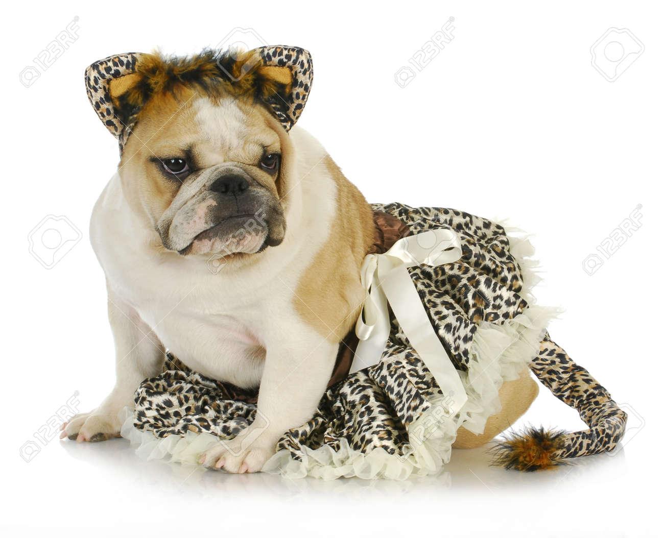 dog dressed like a cat - english bulldog wearing cat costume on white background Stock Photo  sc 1 st  123RF.com & Dog Dressed Like A Cat - English Bulldog Wearing Cat Costume.. Stock ...