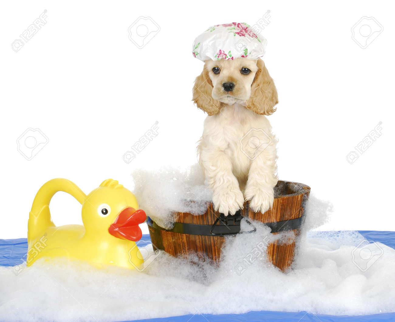 puppy bath time - american cocker spaniel puppy having a bath - 8 weeks old Stock Photo - 14928599
