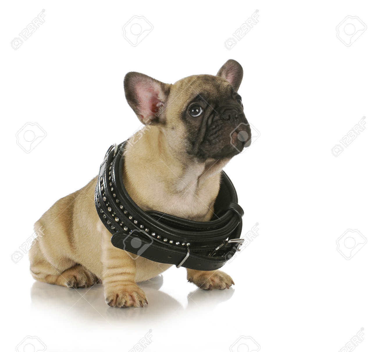 Puppy growth french bulldog puppy wearing collar that is too puppy growth french bulldog puppy wearing collar that is too big 8 weeks old nvjuhfo Choice Image