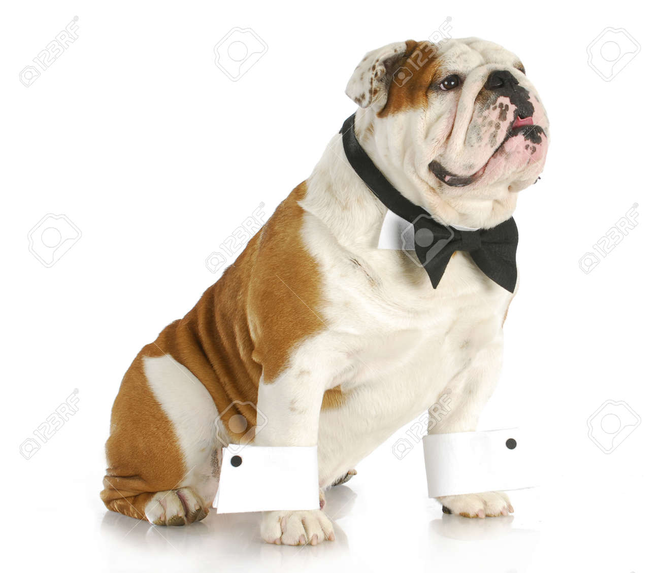dcab40a3db6 male dog - english bulldog dressed up wearing bowtie and cuffs on white  background Stock Photo