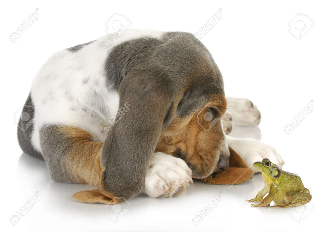 unusual friends - cute basset hound and bullfrog interacting on white background Stock Photo - 15608102