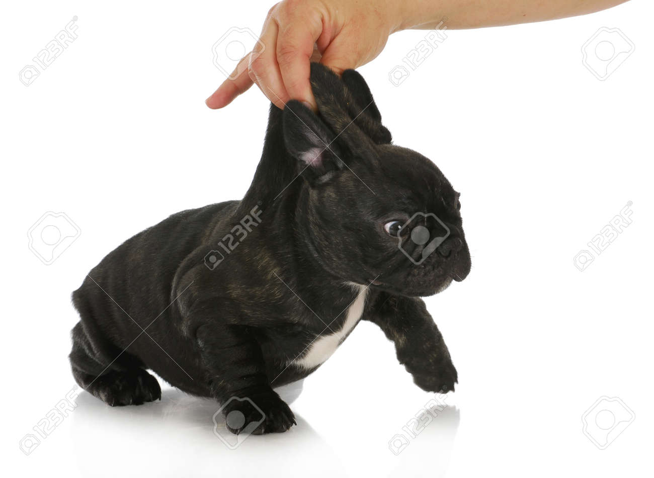 Naughty Puppy French Bulldog Puppy Being Picked Up By The Scruff
