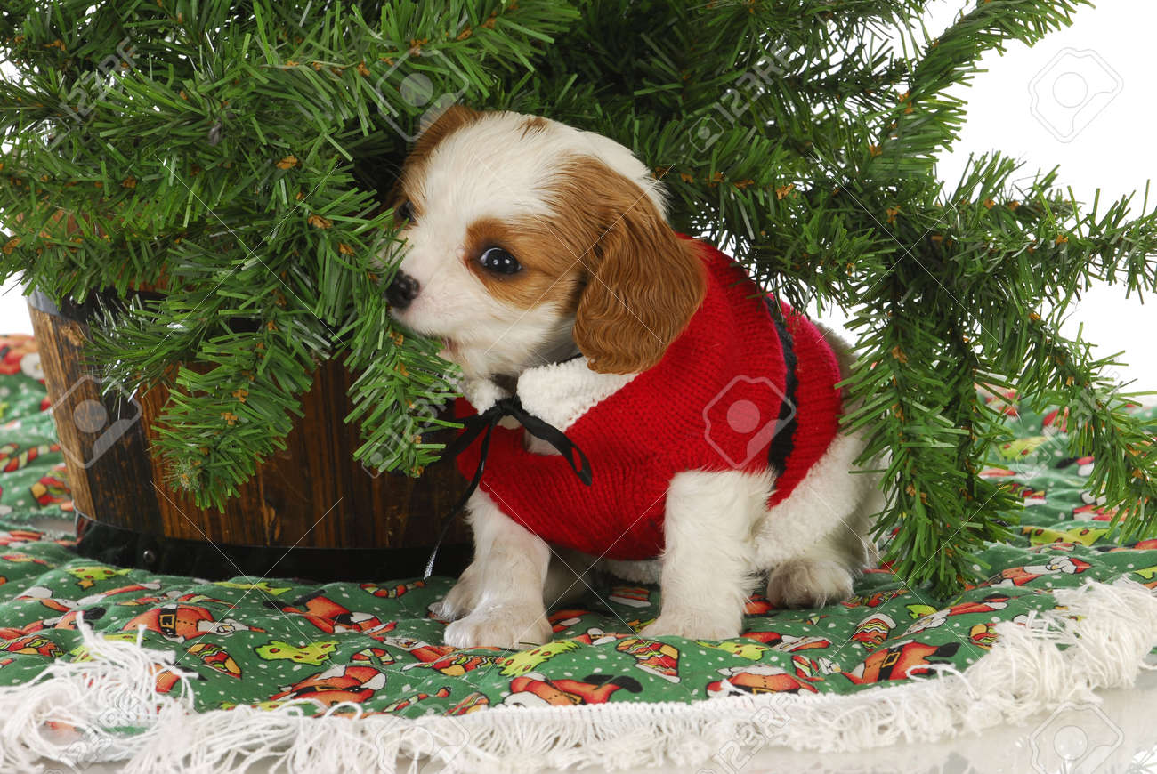 Christmas Puppy - Cavalier King Charles Spaniel Puppy Under A ...