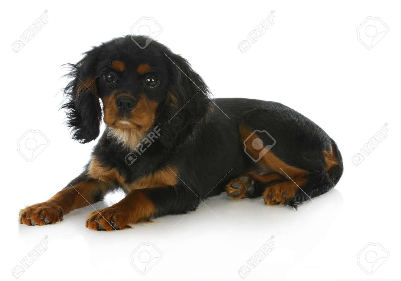 Cute puppy cavalier king charles spaniel puppy laying down stock cute puppy cavalier king charles spaniel puppy laying down black and tan 4 months altavistaventures Choice Image