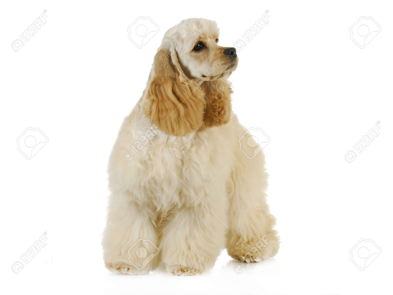 Cute Puppy American Cocker Spaniel Puppy Standing On White Stock Photo Picture And Royalty Free Image Image 15844631