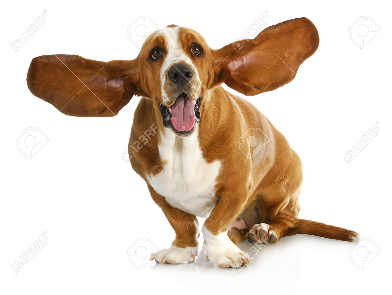 dog ears stock photos royalty free dog ears images and pictures
