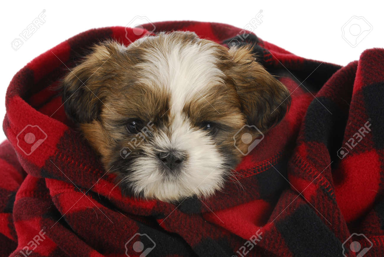 Shih Tzu Puppy Peeking Out Of Red And Black Plaid Blanket On Stock Photo Picture And Royalty Free Image Image 16065225