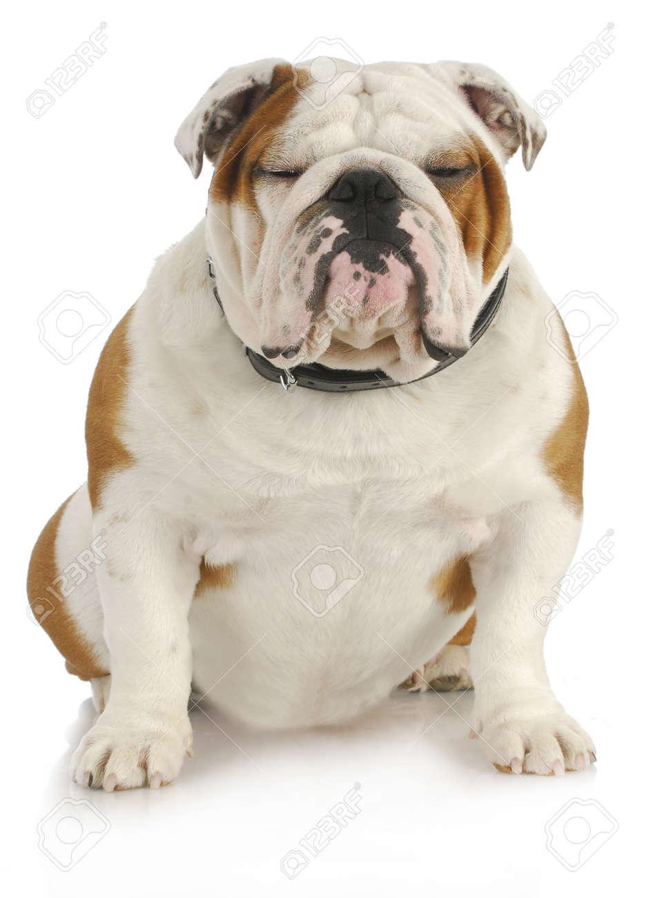 english bulldog sitting with reflection on white background Stock Photo - 16065201