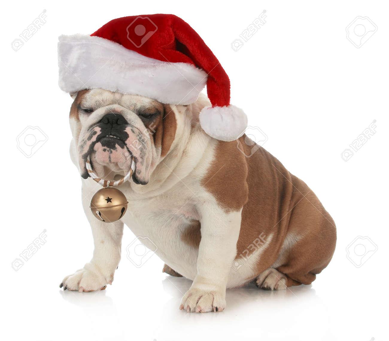 Weihnachtshund - Englische Bulldogge, Die Sankt-Hut Hält ...