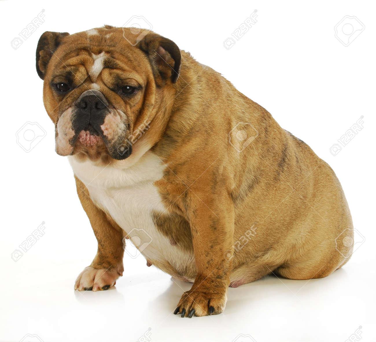 pregnant dog - english bulldog 6 weeks gestation (3 weeks to
