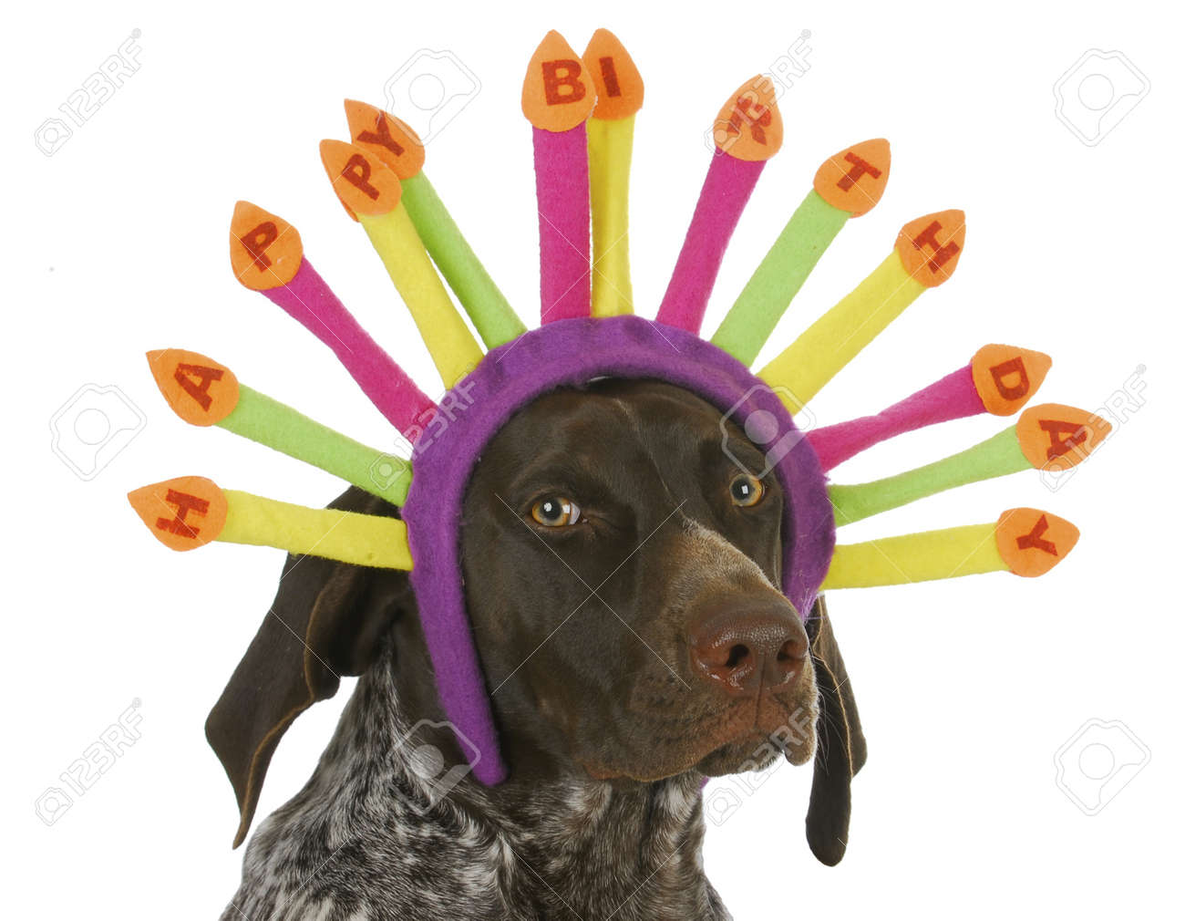 happy birthday dog - german short haired pointer wearing birthday
