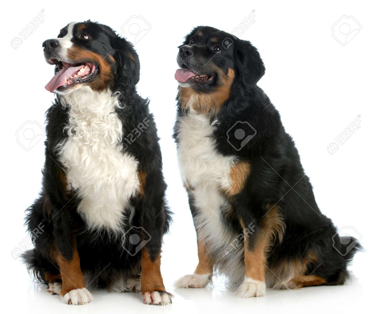 due cani di grossa taglia - cani di tipo bovaro bernese seduto