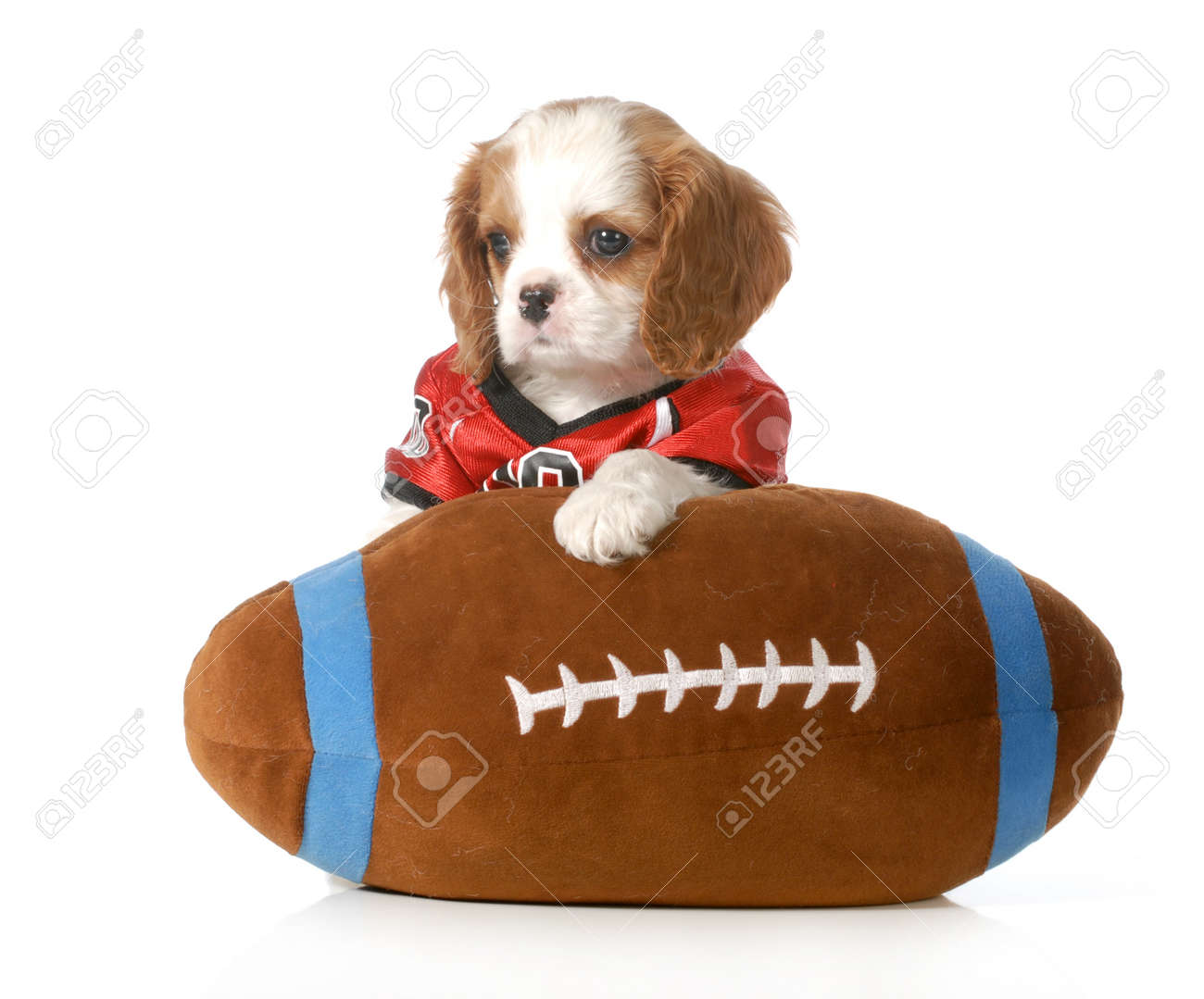 Cool Charles Spaniel Brown Adorable Dog - 20310164-sports-hound-cute-cavalier-king-charles-spaniel-puppy-dressed-up-like-a-football-player-with-stuffed  You Should Have_184816  .jpg