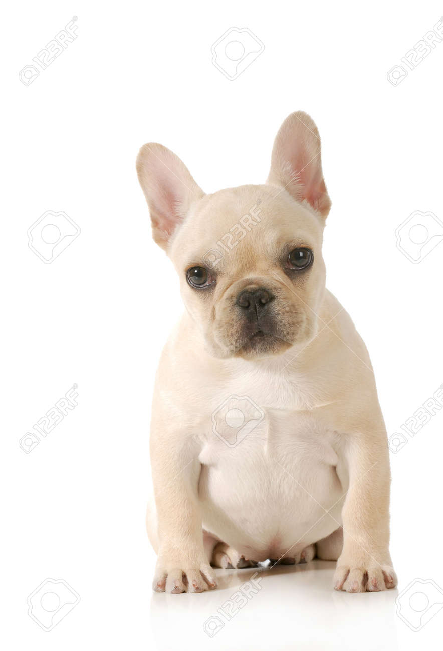 Cute Puppy French Bulldog Puppy Sitting Looking At Viewer On