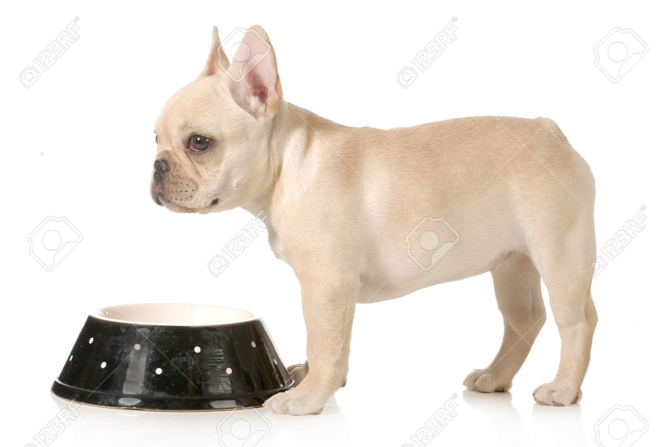 dog dinner time french bulldog puppy standing at dog food bowl isolated on white background