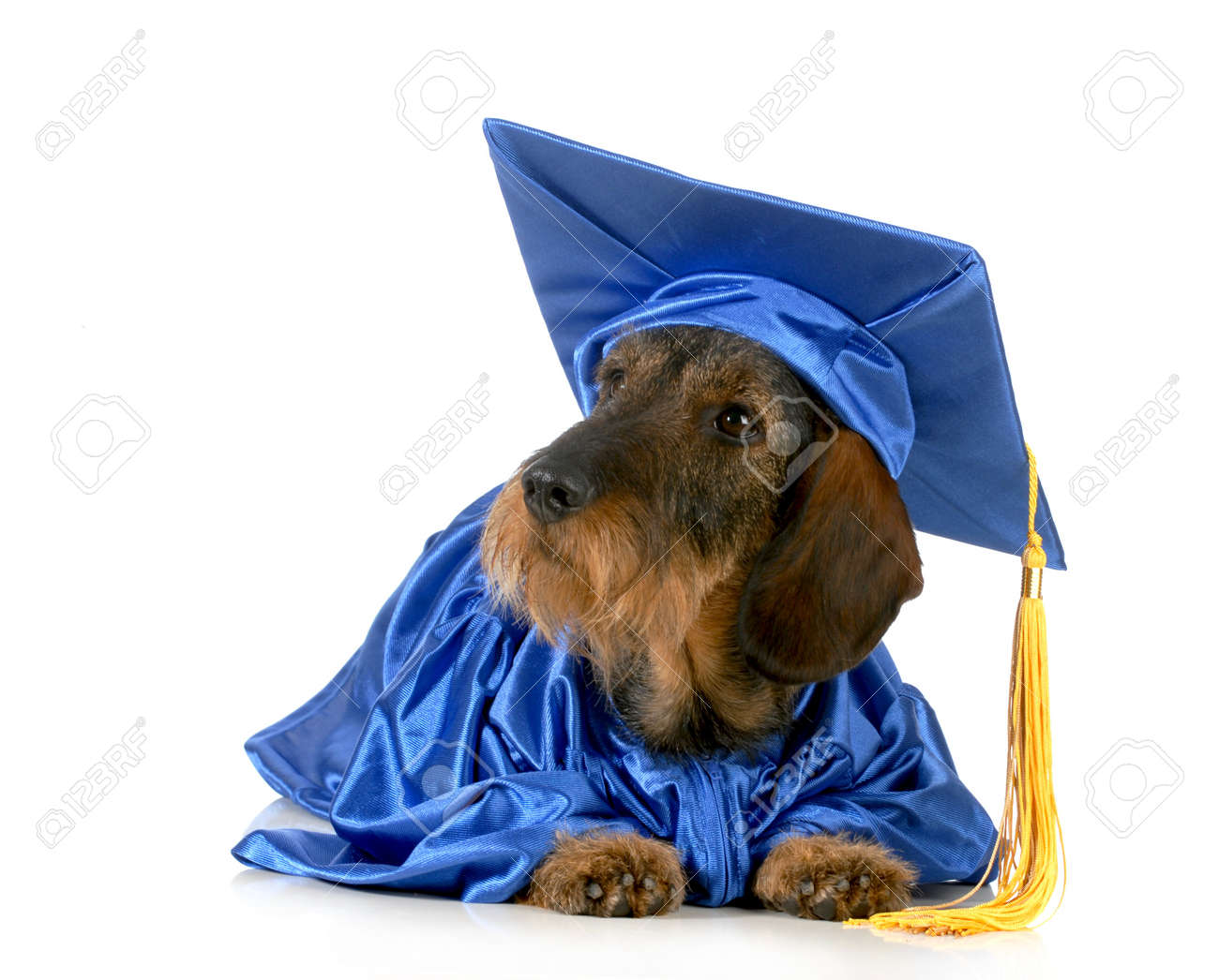 Dog Graduate - Dachshund In Graduation Gown Stock Photo, Picture And ...