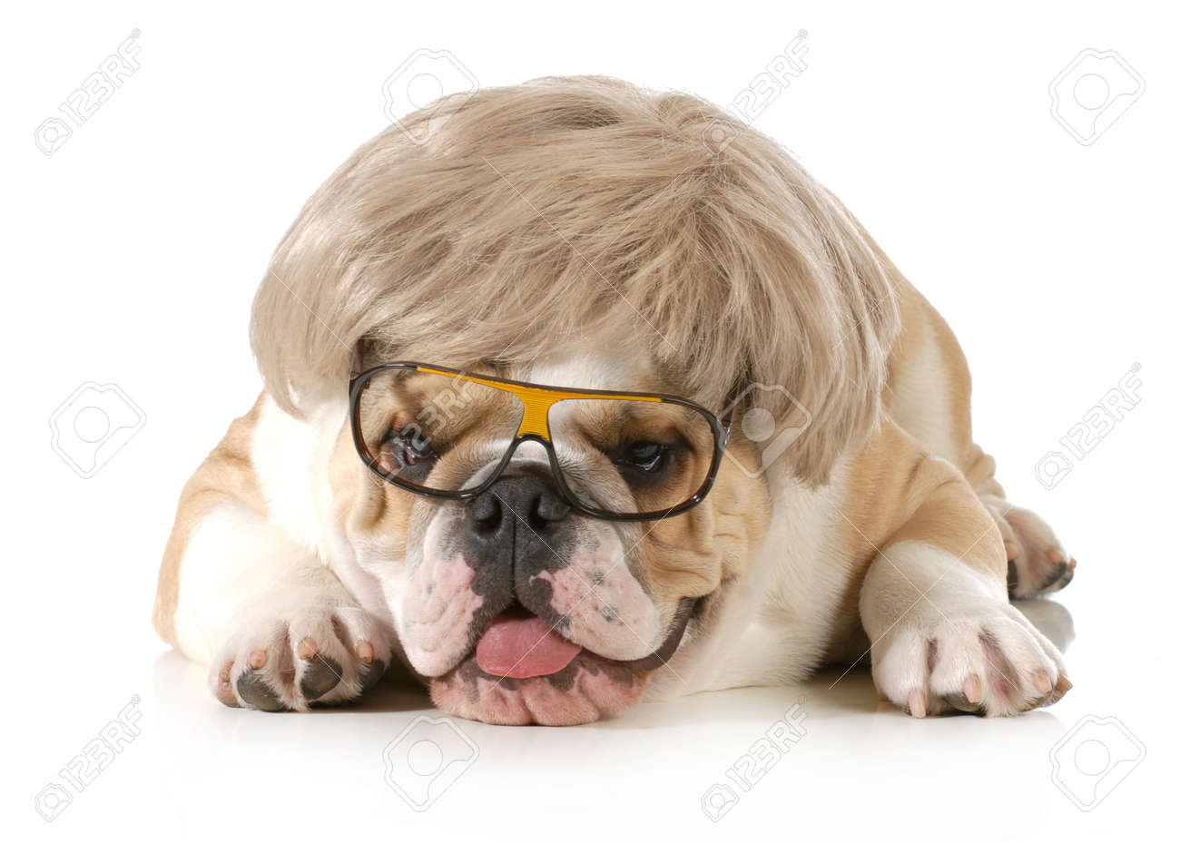 funny dog - english bulldog wearing silly wig and glasses isolated