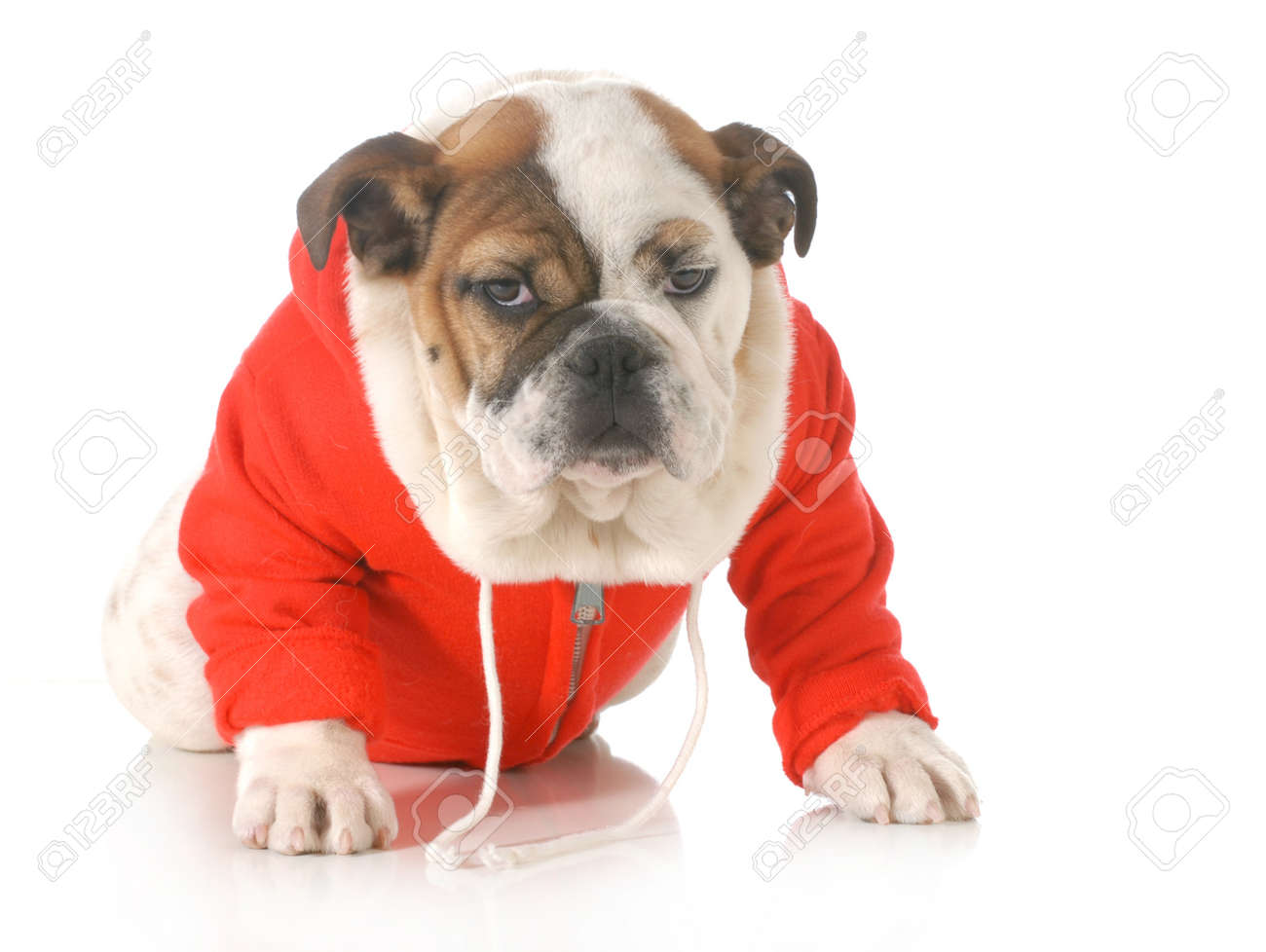 Schattige Puppy Jas Achtergrond Geïsoleerd Engels Witte Op