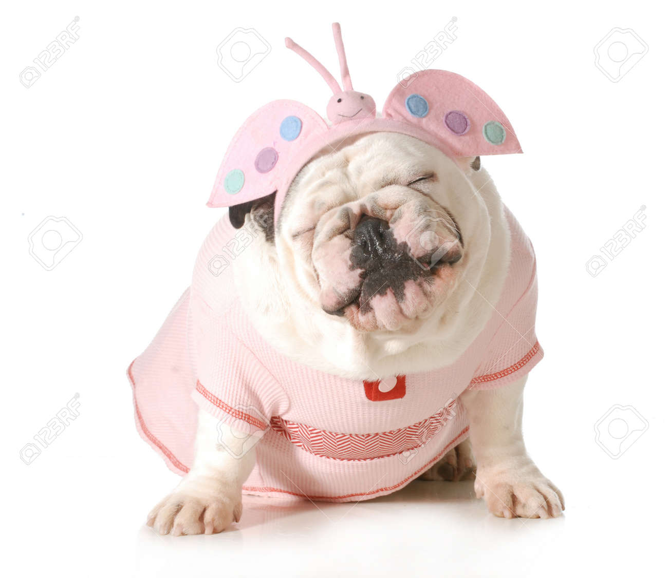 Cute Puppy - English Bulldog Female Wearing Cute Costume Isolated ...
