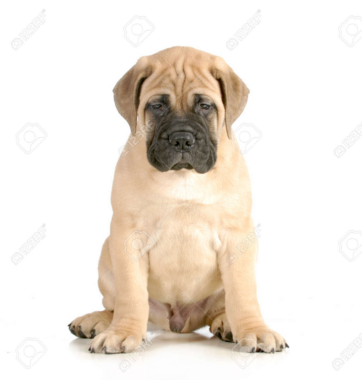 Bullmastiff Puppy Sitting Looking At Viewer Isolated On White
