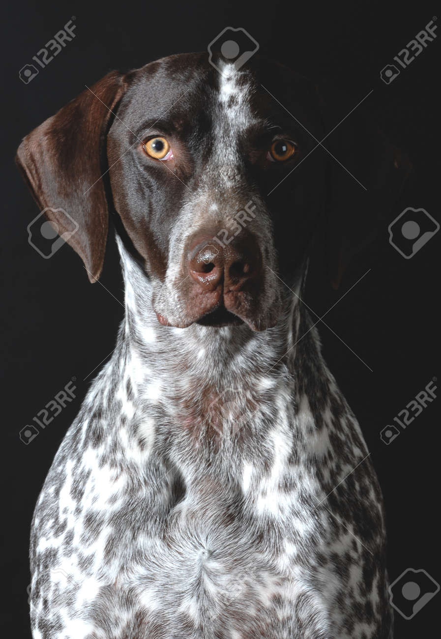 German Shorthaired Pointer Portrait On Black Background Stock Photo ...