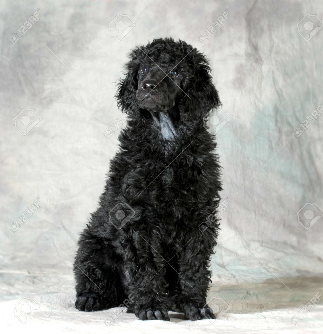 Standard Poodle Puppy Sitting On Green Background 8 Weeks Old Stock Photo Picture And Royalty Free Image Image 25631092