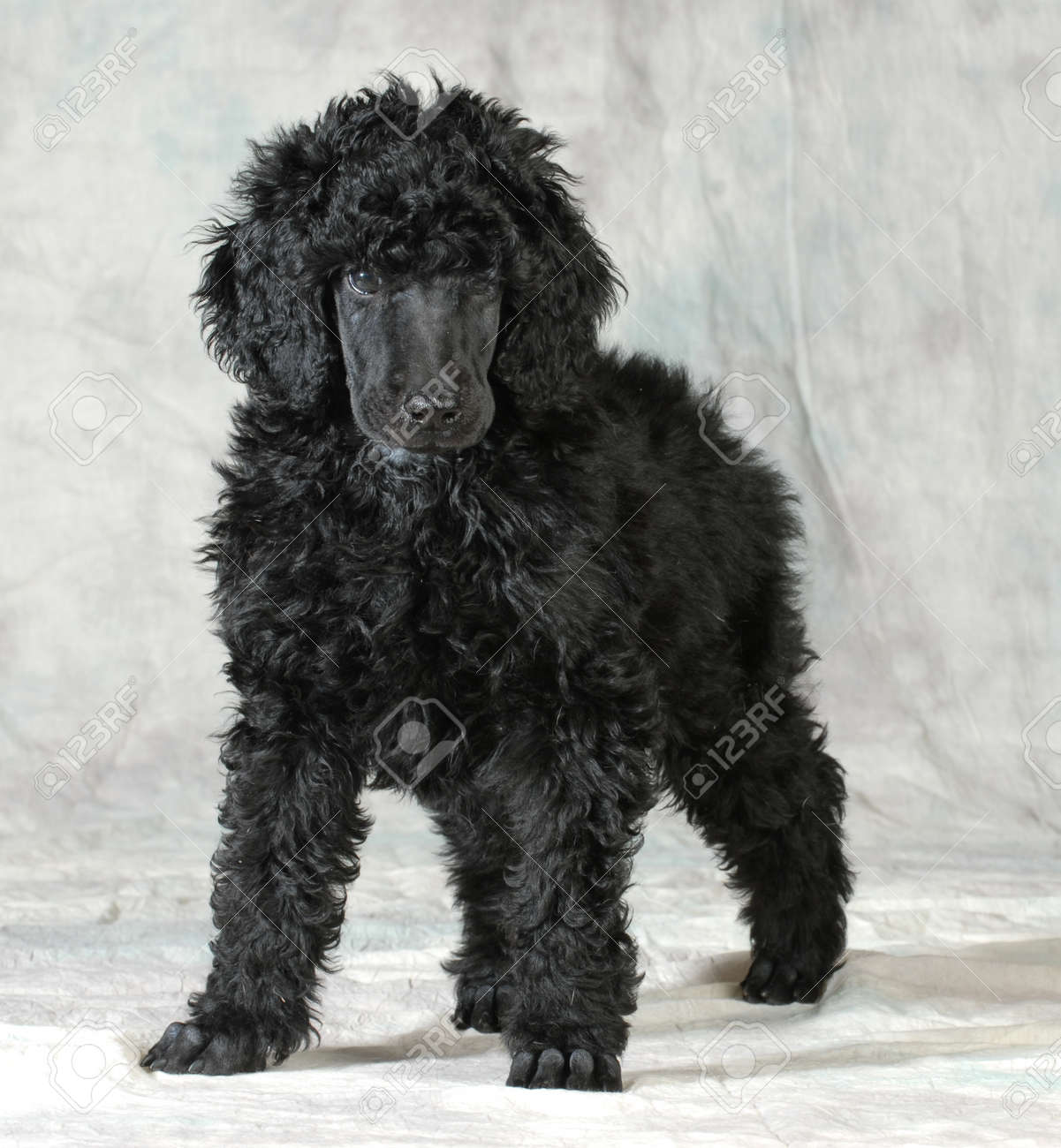 Standard Poodle Puppy Standing On Green Background 8 Weeks Stock Photo Picture And Royalty Free Image Image 26231529