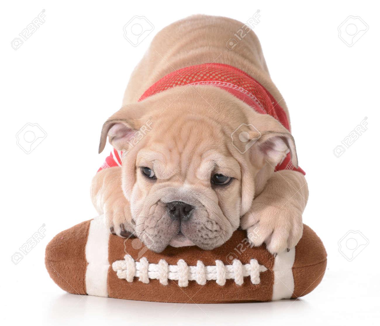 sports hound  english bulldog puppy laying on stuffed football  - sports hound  english bulldog puppy laying on stuffed football isolated onwhite background