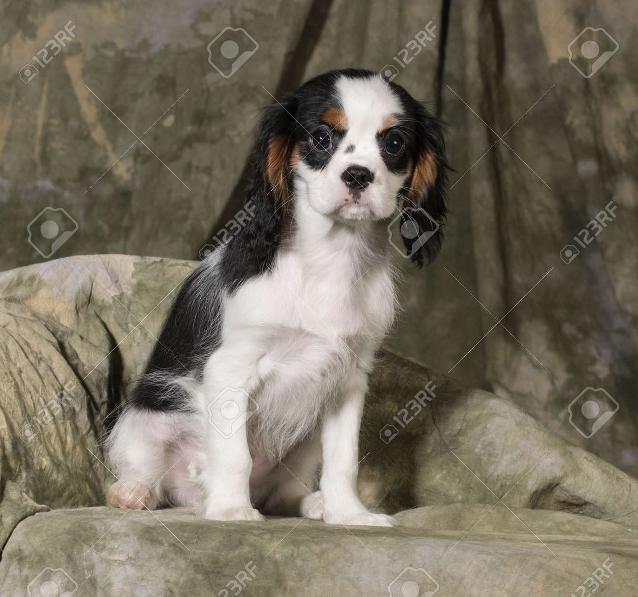 Cavalier King Charles Spaniel Puppy Tri Color 3 Months Old Stock Photo Picture And Royalty Free Image Image 26720212