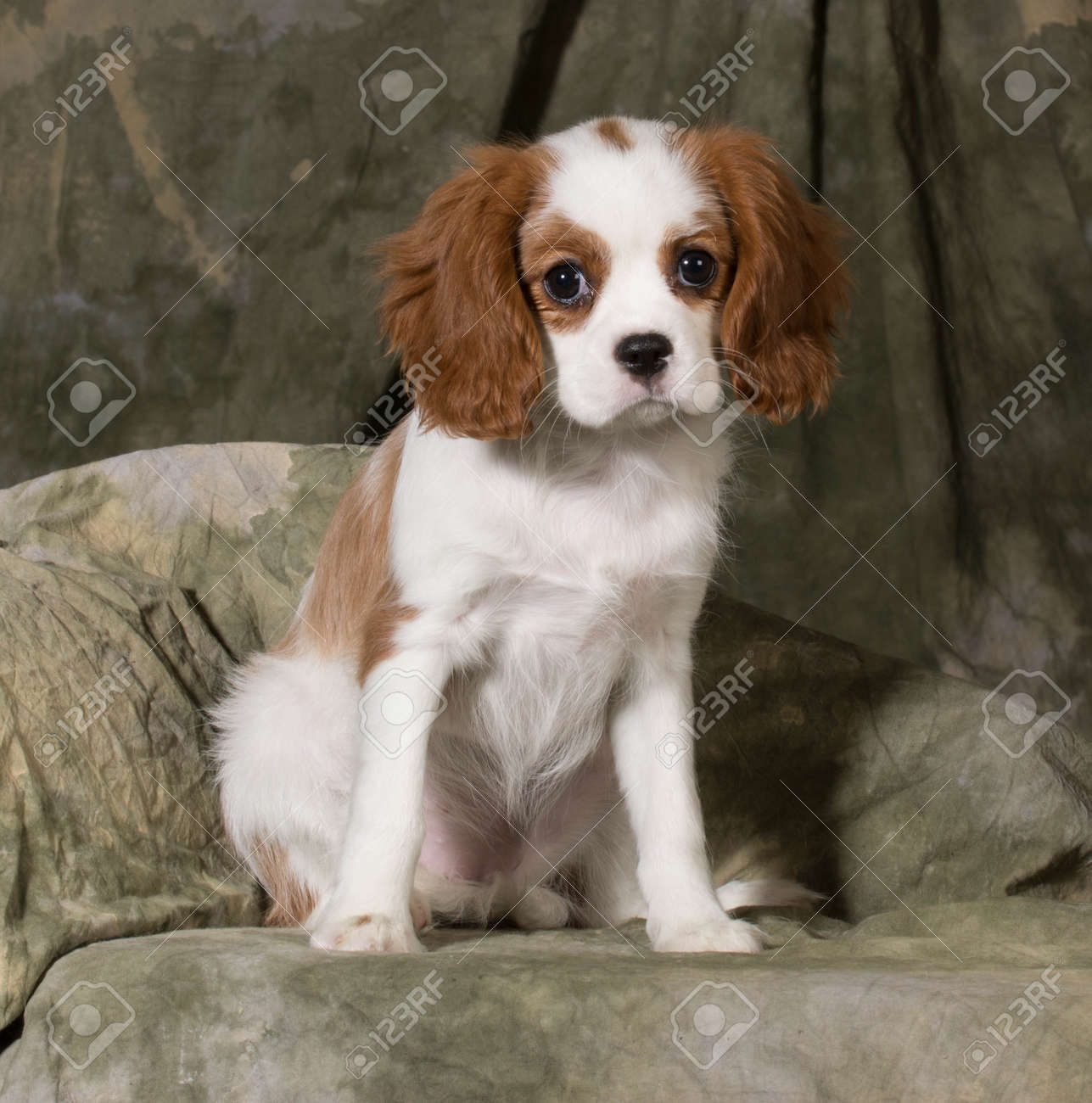 Cavalier king charles spaniel puppy blenheim 3 months old stock cavalier king charles spaniel puppy blenheim 3 months old stock photo 26724320 altavistaventures Images