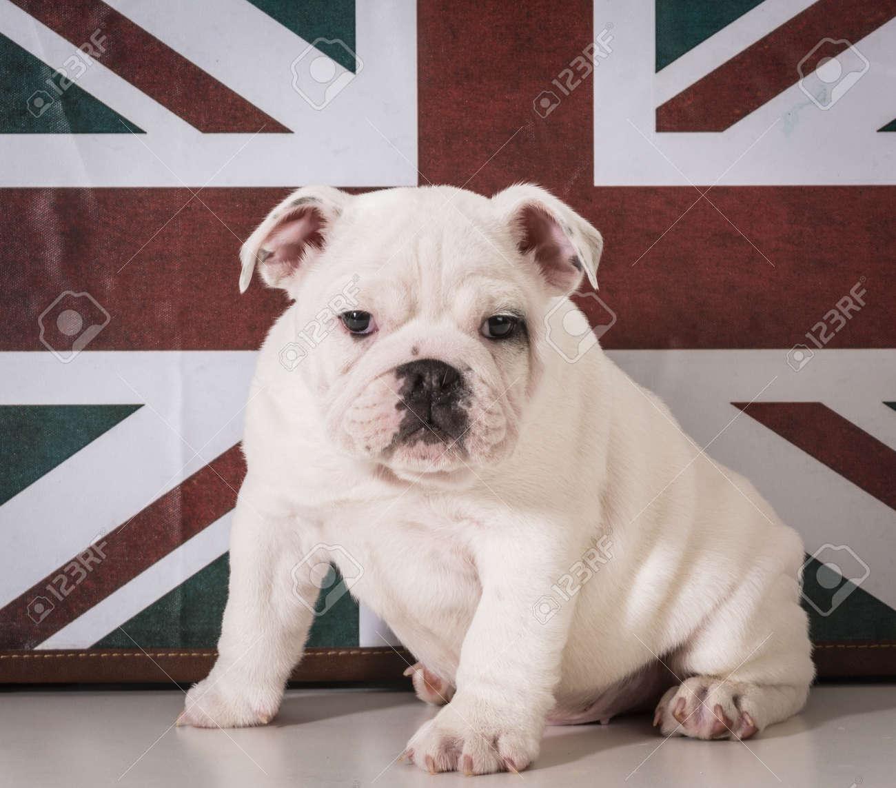 Fabuleux Préférence Tableau Bulldog Anglais TA86   Montrealeast #QZ_72