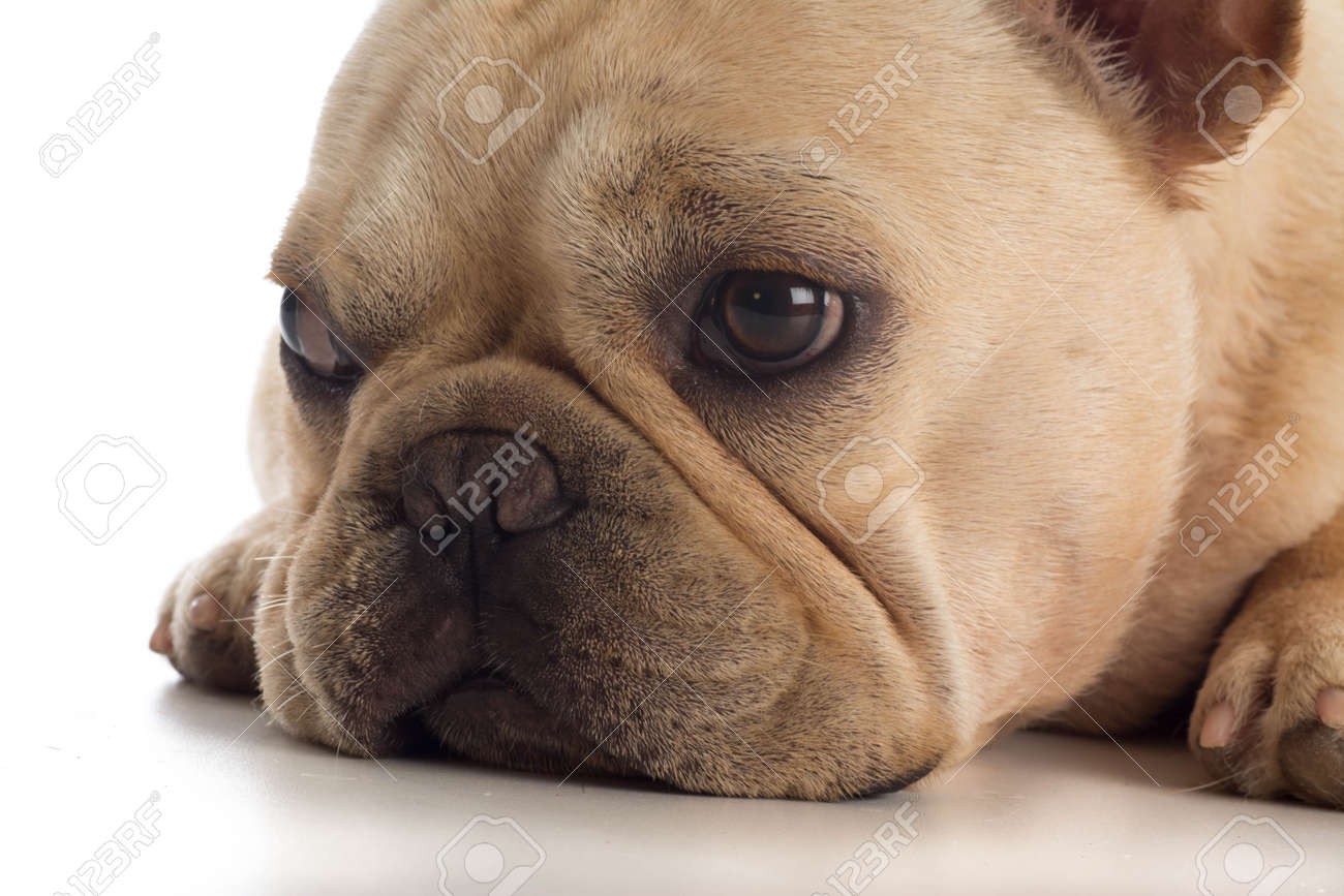 Sad Frenchie Puppy Stock Photo Picture And Royalty Free Image Image 31734406