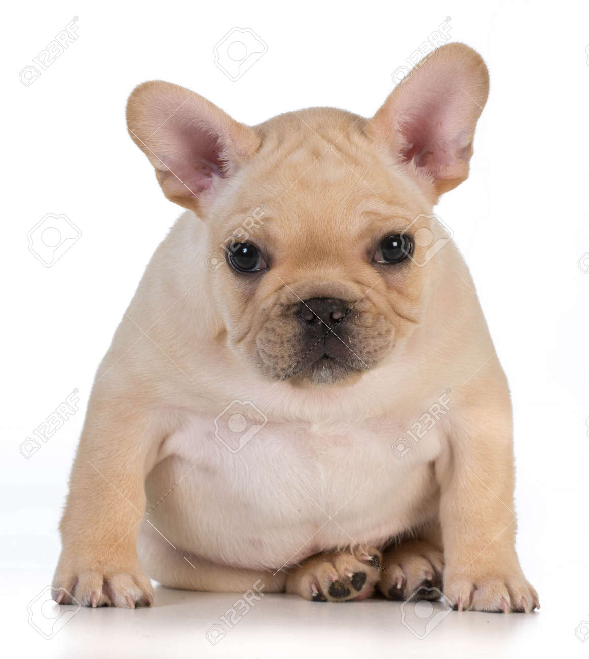 Cute Puppy French Bulldog Puppy Sitting Looking At Viewer