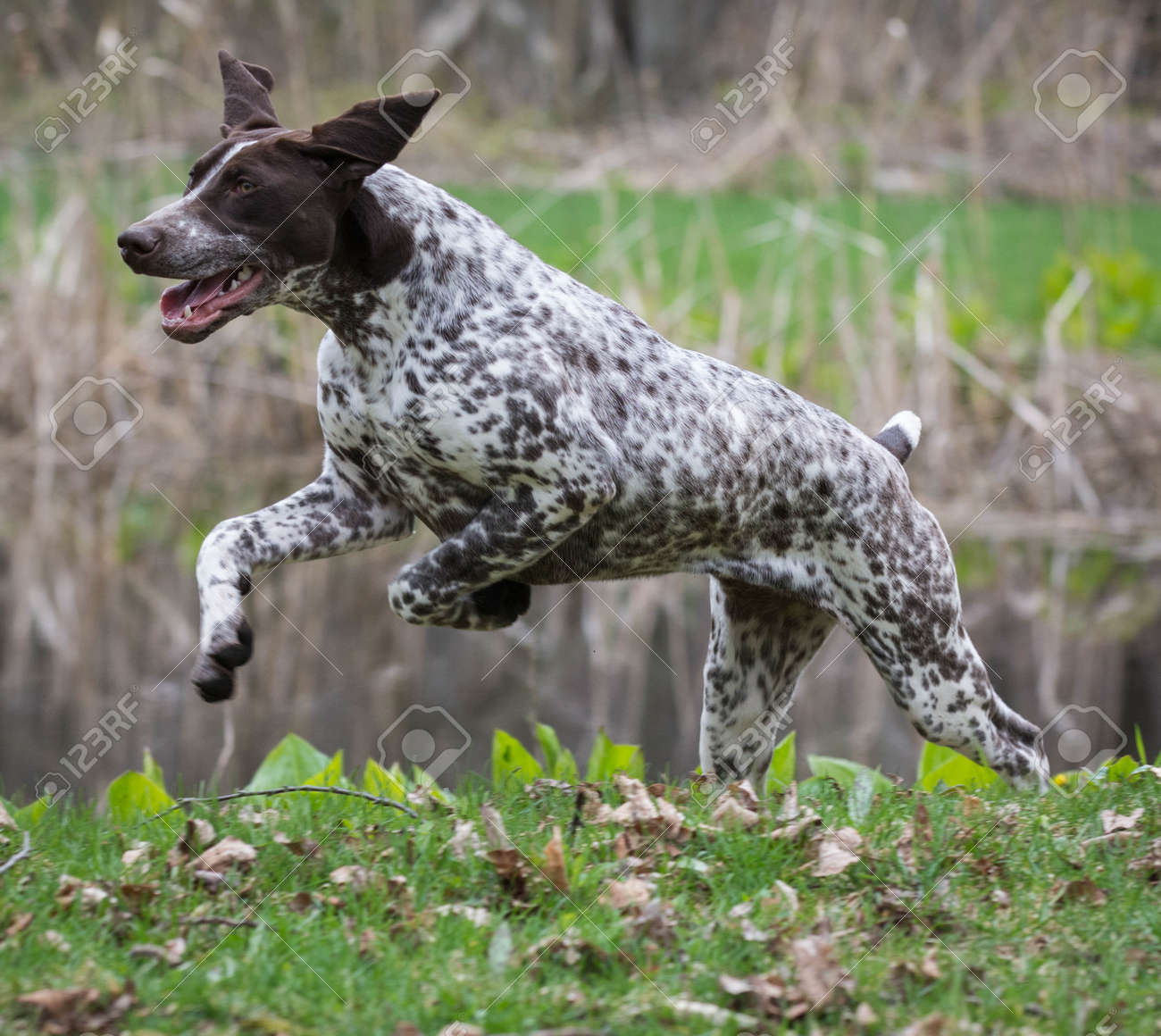 German Shorthaired Pointer Running In A ...