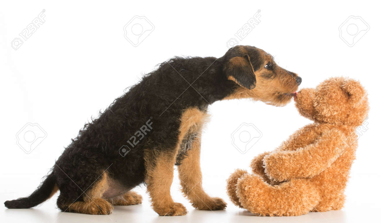 cute puppy reaching out to kiss stuffed teddy bear - airedale terrier - 35220231