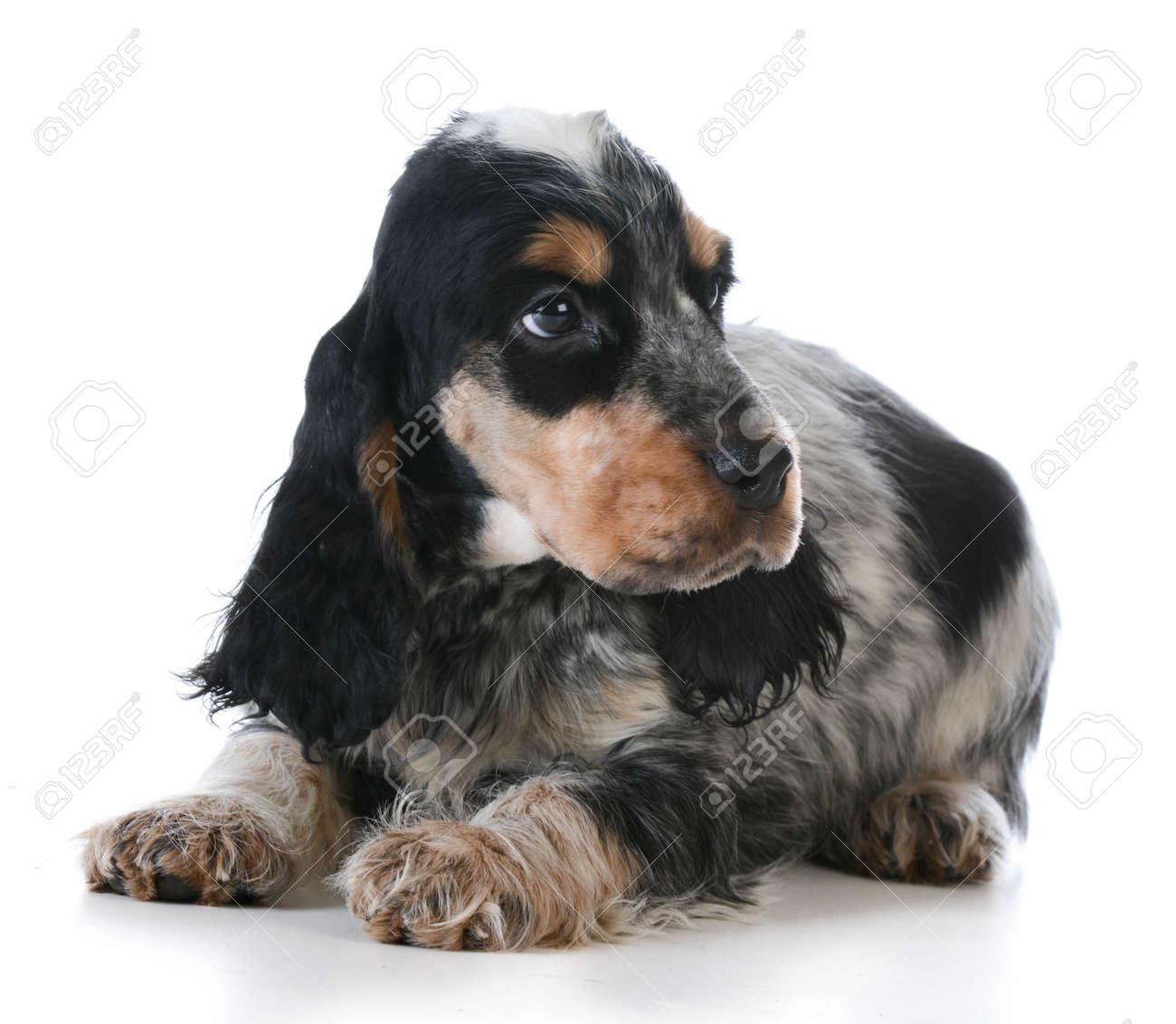 Lindo Cachorro Ingles Cocker Spaniel Cachorro Que Se Establecen En El Fondo Blanco Fotos Retratos Imagenes Y Fotografia De Archivo Libres De Derecho Image 35220879