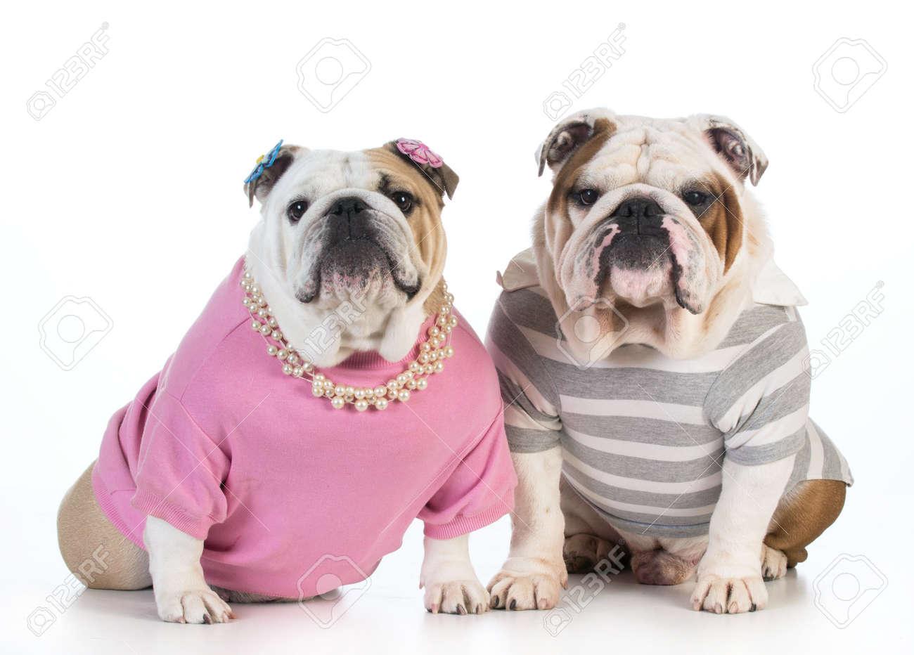 Complètement et à l'extrême Couple Chien - Bulldog Anglais Mâle Et Femelle Vêtus De Vêtements &GP_33