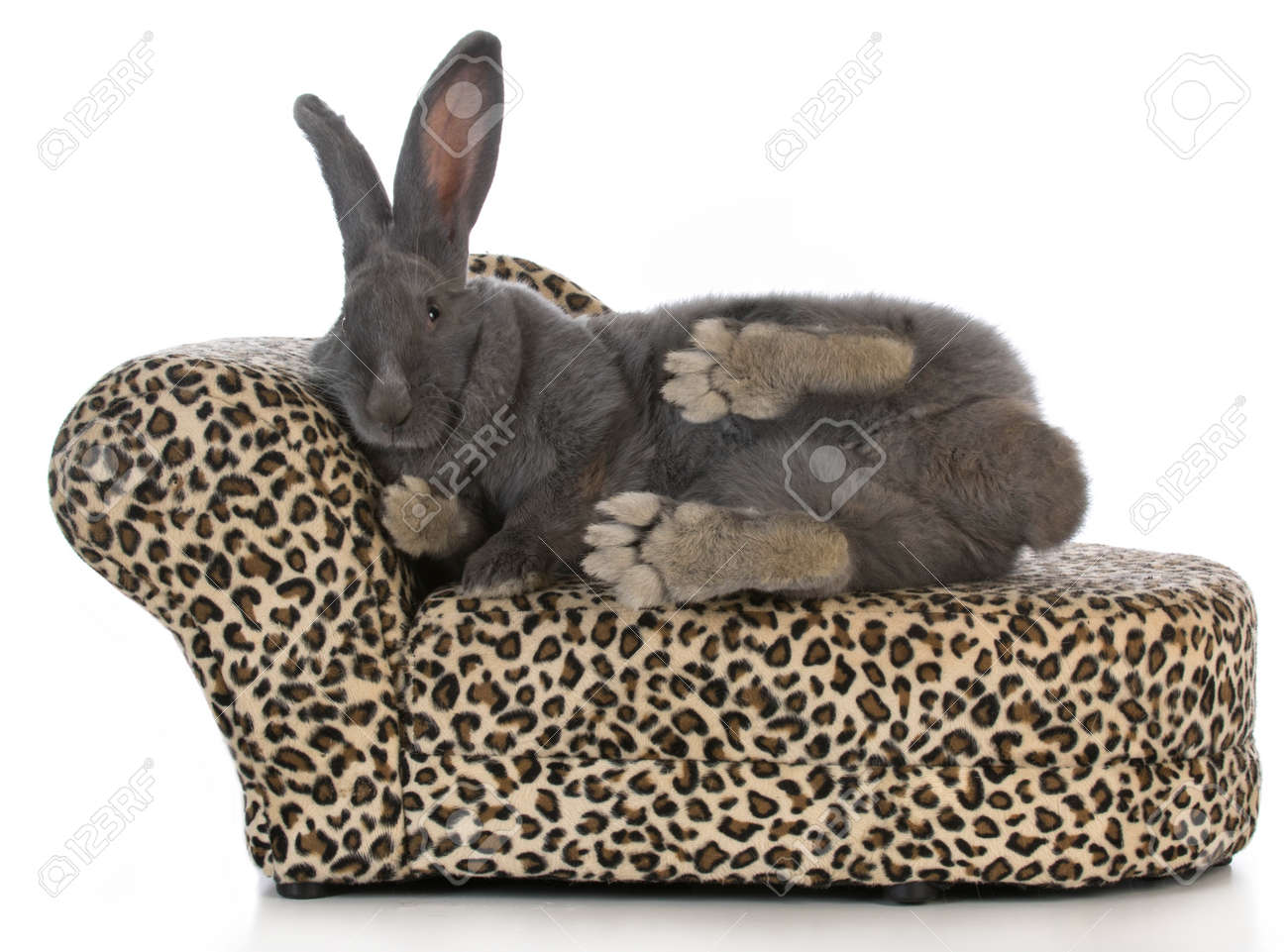 fancy bunny giant flemish bunny stretched out on a leopard